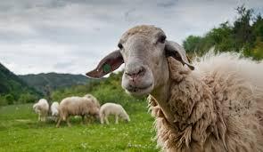 Βρέθηκαν πρόβατα φονιάδες