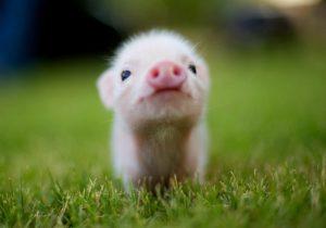 Γουρούνια από γονίδια σπανακιού